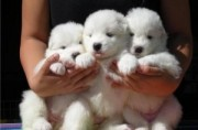 Charming Samoyed Pups for sale