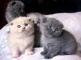 Scottish Fold Kittens for sale
