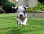 American Pitbull Terrier Puppies Ready For Sale