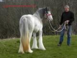 DNA Gypsy Vanner Filly hest til vedtagelse