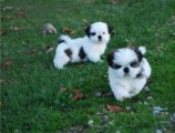 Adorable Male And Female Shih Tzu Puppies,,,,,