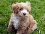A beautiful, affectionate, Male and Female Cockapoo For Sale