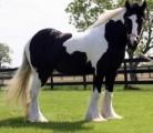 Gypsy Stallon Horse