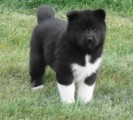 Akita Pups For Sale
