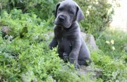GREAT DANE PUPPIES FOR GOOD HOME.