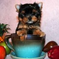 Teacup Yorkie puppies for adoption .