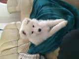 CUTE Samoyed puppies for adoption