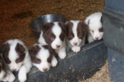 Border Collie Puppies. KC Registered