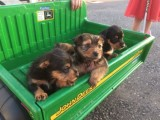 Border terrier x cross miniature Jack Russell pups  puppies boy
