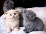 Beautiful male and female Scottish Fold Kittens for sale/../