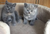 Lovely 10 weeks old British short hair kittens