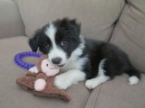 Cute border collie puppies available Lovely Homes home444
