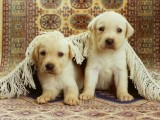 Pure Breed Labrador Puppies for adoption554