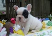 Adorable French Bulldog for sale