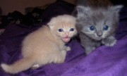 Blue & Cream Scottish Fold Kittens ready for sale.