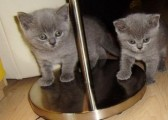 We have cute British short hair kittens available.