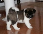 Lovely and adorable akita puppies for sale