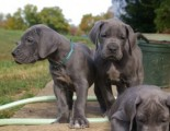 Cute male and female Great Dane puppies for sale
