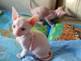 Registered Sphynx Kittens Available For Sale01