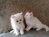 Cute White Male and Female Persian kitten for adoption09