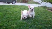 2 Beautiful French Bulldogs3456789