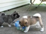 Adorable Akita Puppies for Adoption5678