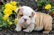 Gorgeous English Bulldog puppies available98765