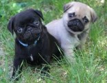 Pug Pups for Adoptioin76543