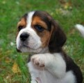 Beautiful Beagle Puppies For Sale6543