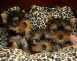 Pure Teacup Yorkie Puppies Ready for New Home(sale)