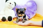 SUPER TEACUP YORKIE PUPPIES FOR ADOPTION