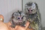 Male and female Marmoset Monkeys for adoption