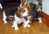 Adorable Beagle Puppy in Search of a Good Home