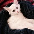 قطه شيرازيه لطيفه للبيع