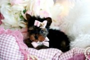 Yorkshire Terrier Puppies For Adoption56789