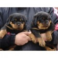 Male and Female Rottweiler Puppies787878