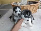 Male and Female Siberian Huskies 988989