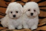 Affectionate Maltese Puppies Available 87654