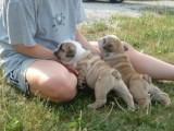English Bulldog Puppies Available. 876756
