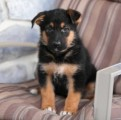 German Shepherd Puppies Available For Sale 10098