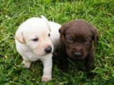 Cute Labrador retriever Puppies Available 324567