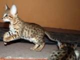 Smart Savanna Kittens for Re-homing 66567