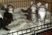 Maine Coon Kittens 67676567765