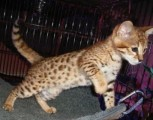 TICA Registered Savannah kittens Available for sale..