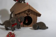 Blue Scottish Fold Kittensfor adoption