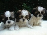 Male and Female shih Tzu puppies For Rehoming