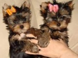 Male and female Teacup Yorkie puppies for sale.