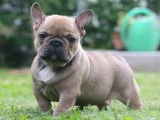 french bulldog for adoption