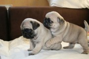 Pug Puppies for Sale...