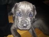 Neapolitan Mastiff Puppies for sale...